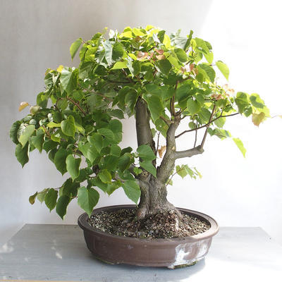 Outdoor bonsai - Lipa - Tilia cordata - 2