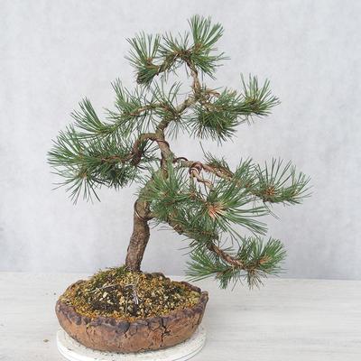 Outdoor bonsai - Pinus Mugo - Sosna klęcząca - 2