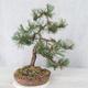 Outdoor bonsai - Pinus Mugo - Sosna klęcząca - 2/4