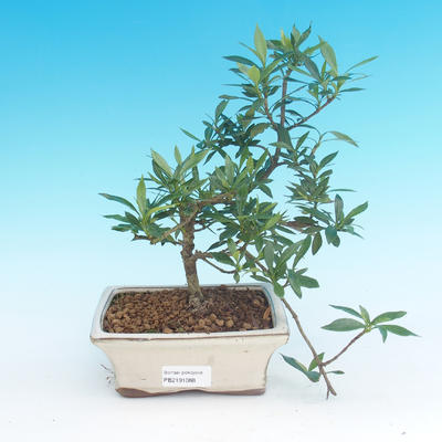 Pokój bonsai - Gardenia jasminoides-Gardenie - 2