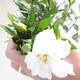 Bonsai do wnętrz - Gardenia jasminoides-Gardenia - 2/2