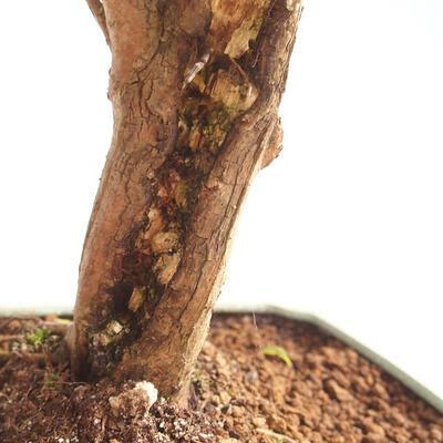 Kryty Bonsai - Wiśnia Australijska - Eugenia uniflora - 2