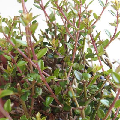Outdoor bonsai-Lonicera nitida-wiciokrzew - 2