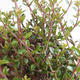 Outdoor bonsai-Lonicera nitida-wiciokrzew - 2/2
