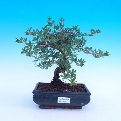 Outdoor bonsai krzew -Mochna - Potentilla fruticosa - 2