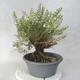 Outdoor bonsai - góra Satureja - Satureja montana - 2/6