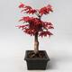 Outdoor bonsai - Klon palmatum DESHOJO - Klon japoński - 2/5