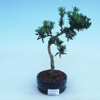 Kryty bonsai - Podocarpus - Kamień tys - 2