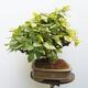 Bonsai ogrodowe - Grab - Carpinus betulus - 2/5