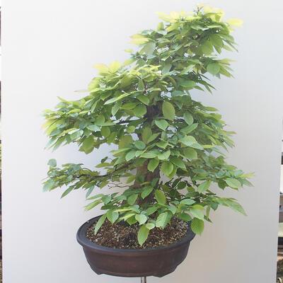 Bonsai ogrodowe - Grab - Carpinus betulus - 2