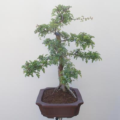 Bonsai na zewnątrz - Hawthorn - 2