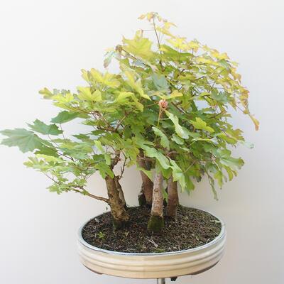 Acer campestre, acer platanoudes - Baby klon, klon - 2