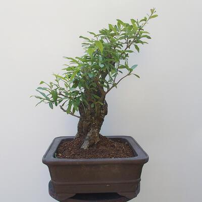 Bonsai zewnętrzne - dziób ptaka Ligustrum - 2
