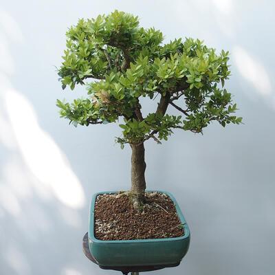 Bonsai ogrodowe - Bukszpan - 2