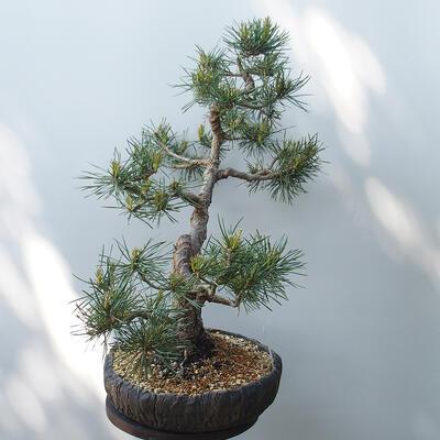 Bonsai ogrodowe - Pinus sylvestris Watereri - sosna zwyczajna - 2