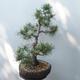 Bonsai ogrodowe - Pinus sylvestris Watereri - sosna zwyczajna - 2/5