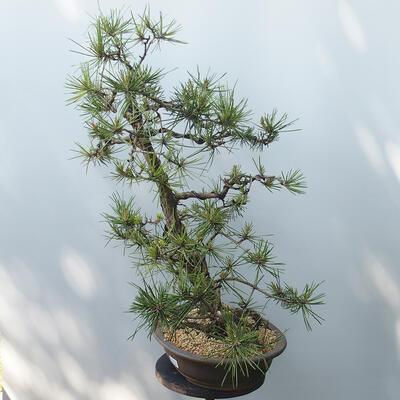 Bonsai ogrodowe - Pinus sylvestris - sosna zwyczajna - 2