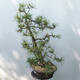 Bonsai ogrodowe - Pinus sylvestris - sosna zwyczajna - 2/4
