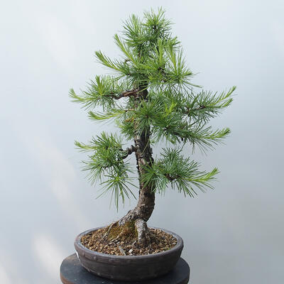 Bonsai zewnętrzne - Larix decidua - Modrzew - 2