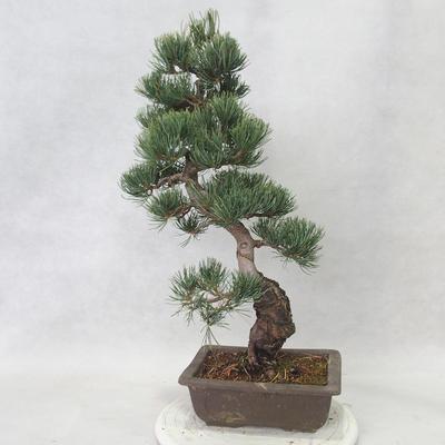Outdoor bonsai - Pinus parviflora - Sosna drobnokwiatowa - 2