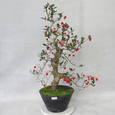 Outdoor bonsai - głogowe białe kwiaty - Crataegus laevigata - 2