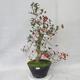 Outdoor bonsai - głogowe białe kwiaty - Crataegus laevigata - 2/6