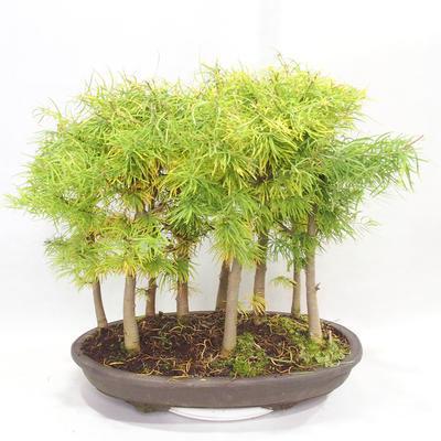 Outdoor bonsai - Pseudolarix amabilis - Pamodřín - gaj z 9 drzewami - 2