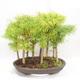 Outdoor bonsai - Pseudolarix amabilis - Pamodřín - gaj z 9 drzewami - 2/5