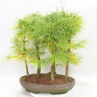 Outdoor bonsai - Pseudolarix amabilis - Pamodřín - gaj z 5 drzewami - 2