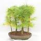 Outdoor bonsai - Pseudolarix amabilis - Pamodřín - gaj z 5 drzewami - 2/5