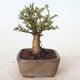 Bonsai zewnętrzne - Ulmus parvifolia SAIGEN - Wiąz drobnolistny - 2/4