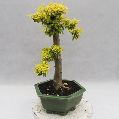 Indoor bonsai -Ligustrum Aurea - dziób ptaka - 2