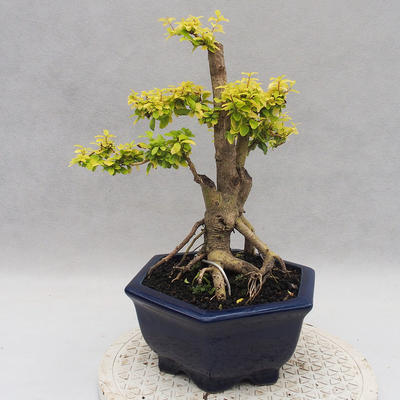 Indoor bonsai -Ligustrum Aurea - dziób ptaka - 2