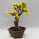 Indoor bonsai -Ligustrum Aurea - dziób ptaka - 2/6