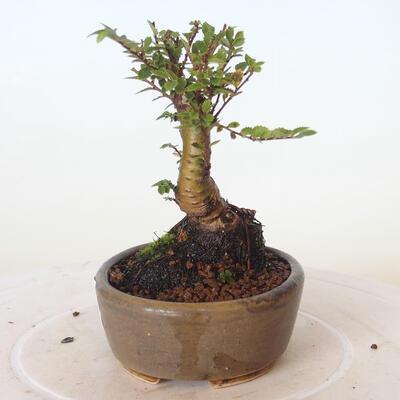Bonsai zewnętrzne - Ulmus parvifolia SAIGEN - Wiąz drobnolistny - 2