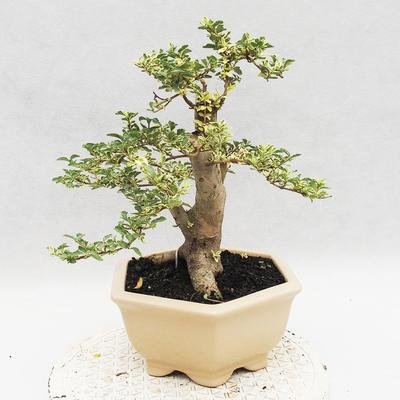 Indoor bonsai -Ligustrum Variegata - dziób ptaka - 2