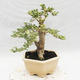 Indoor bonsai -Ligustrum Variegata - dziób ptaka - 2/6