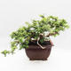 Kryty bonsai -Phyllanthus Niruri- Smuteň - 2/6