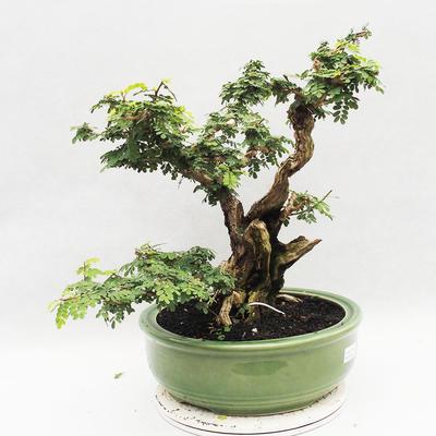 Kryty bonsai -Phyllanthus Niruri- Smuteň - 2