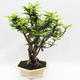 Kryty bonsai -Phyllanthus Niruri- Smuteň - 2/5
