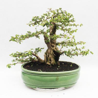 Bonsai do wnętrz - Cudrania equisetifolia - 2