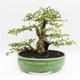 Bonsai do wnętrz - Cudrania equisetifolia - 2/5
