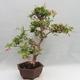 Indoor Bonsai - Australian Cherry - Eugenia uniflora - 2/5