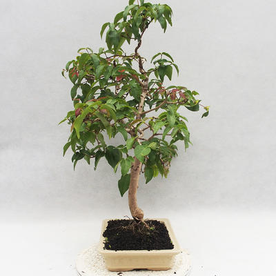 Room Bonsai - Australian Cherry - Eugenia uniflora - 2