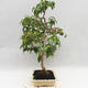 Room Bonsai - Australian Cherry - Eugenia uniflora - 2/5