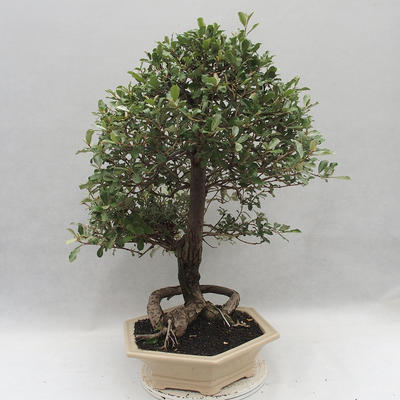 Kryty bonsai -Eleagnus - Hlošina - 2