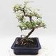 Kryty bonsai -Eleagnus - Hlošina - 2/5