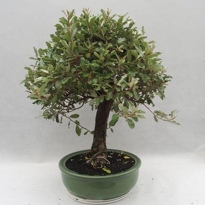 Kryty bonsai -Eleagnus - Hlošina - 2