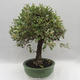 Kryty bonsai -Eleagnus - Hlošina - 2/6