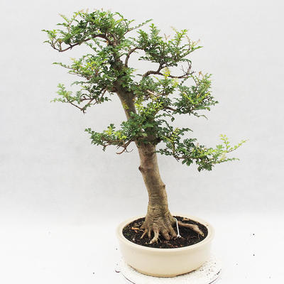 Indoor Bonsai - Fraxinus uhdeii - Indoor Ash - 2